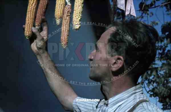 Farmer picking dried corn in garden, Belgrade, Serbia 1941